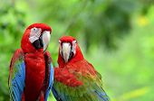 stock photo of green-winged macaw  - A sweet moment of Green - JPG
