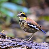 stock photo of belly-band  - Beautiful female of Banded Pitta bird  - JPG