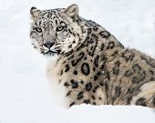 pic of snow-leopard  - Portrait of Snow Leopard Sitting in Snow - JPG