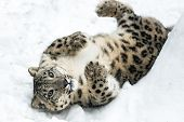 picture of snow-leopard  - Playful Snow Leopard rolling in the snow