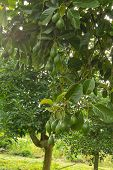 foto of avocado tree  - Avocados  growing on a tree, Avocados tree