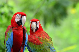 image of green-winged macaw  - A sweet moment of Green - JPG