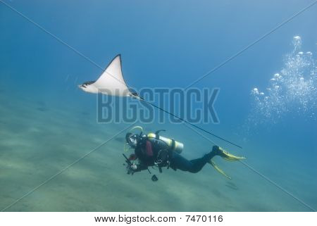Scuba Diver And Eagle Ray.