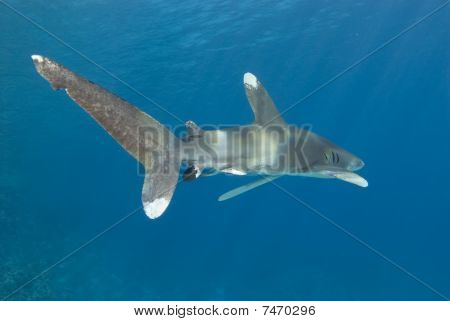 Rear View Of A Shark