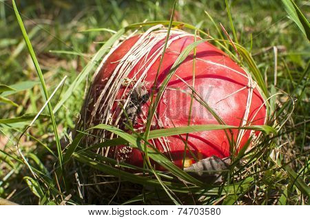 Red poisonous mushroom