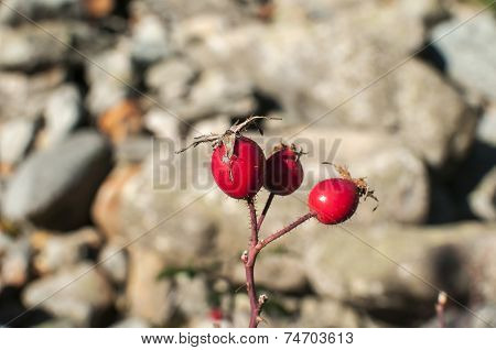 Red rosehips closeup