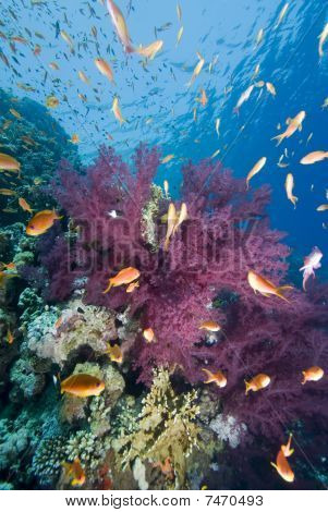 Tropical Goldfish And Coral Reef