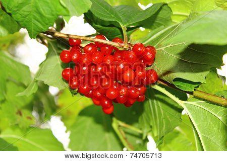 Lactarius viburnum berries