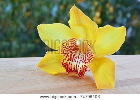 Cymbidium Orchid Closeup
