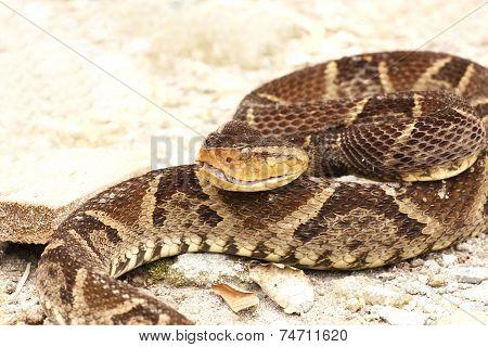 Ferdelance Snake