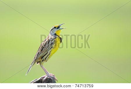 Eastern Meadowlark Male