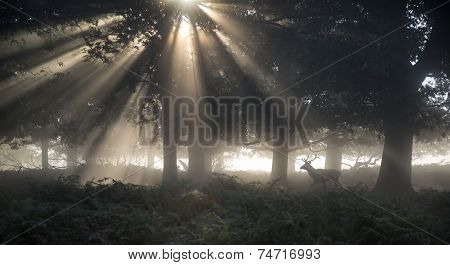 Red Deer Stag Illuminated By Stunning Sun Beams Through Forest Landscape On Foggy Autumn Fall Mornin