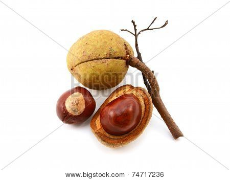 Seed Cases And Conkers From A Red Horse Chestnut Tree