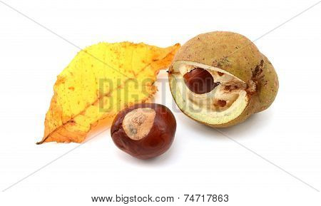 Yellow Fall Leaf From A Red Horse Chestnut With Conkers