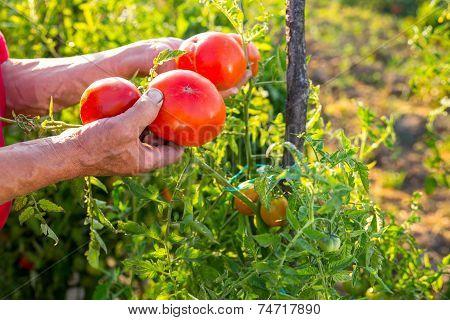 Hand holding organic cherry tomatoes