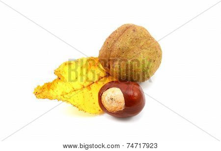 Yellow Autumn Leaf From A Red Horse Chestnut With Conkers