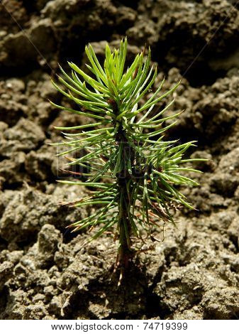 tiny fir tree grown from seed