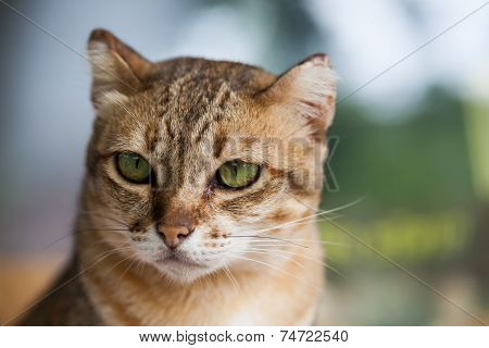 Bengal cat in light brown and cream color looking with pleading