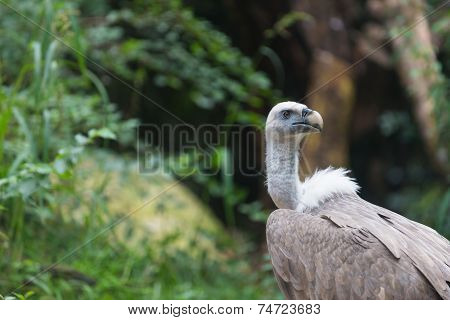 White Vulture Seeking For Food in Jungle between bushes