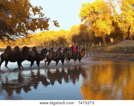 camels cross the autumn river