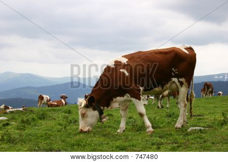 Grazing Cows Herd