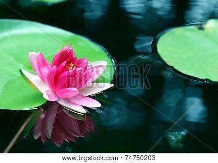 Pink Lotus Flower - Reflection Water Pond Blooming