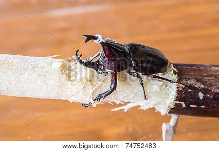 Stag Or Rhinoceros Beetle On Wood