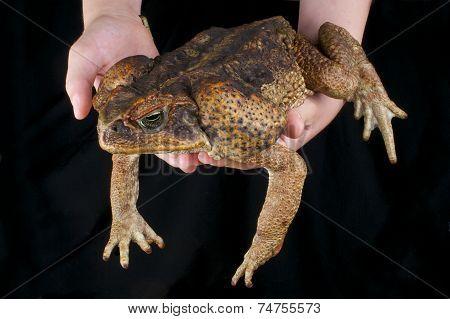 Cane toad / Rhinella marina