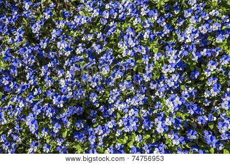 Carpet of Blue Flowers, Keukenhof, The Netherlands