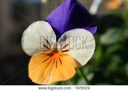Pansy Viola Tricolor
