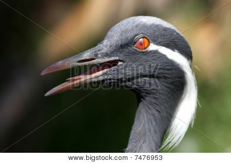 Demoiselle Crane Bird Blinking