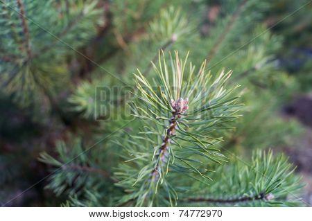 Scotch fir