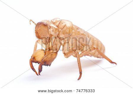 Cicada molt isolated on white background