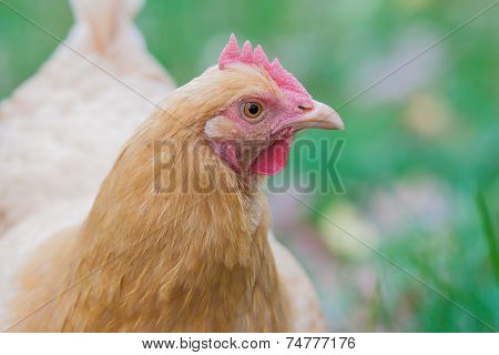 Chicken Close Up