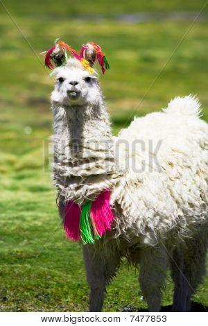 Llama, South America