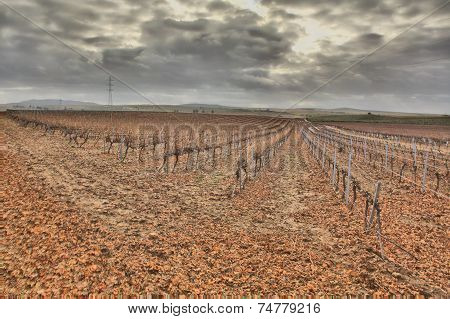Autumn Vineyard Field After The Harvest