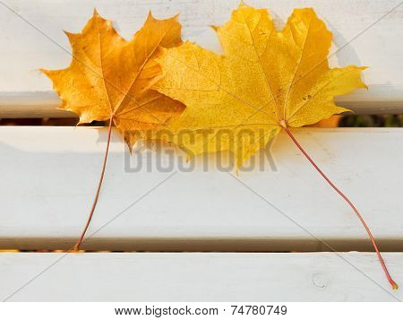 Two Yellow Maple Leaves On Bench