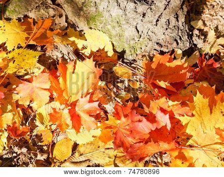 Red And Yellow Maple Leaves Near Tree