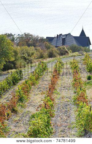 Vineyard In Massandra District And Black Sea