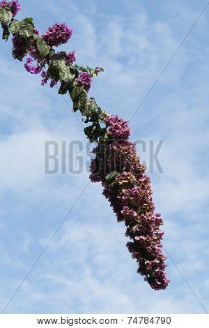 bouganvillea in bloom  in summer in the garden