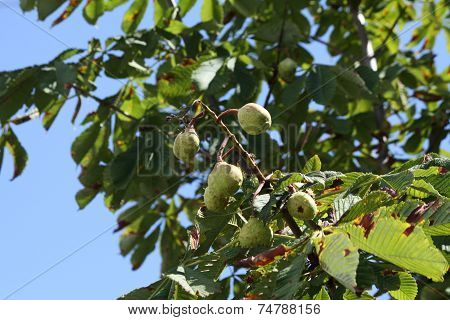 Chestnuts (Conkers) on Tree