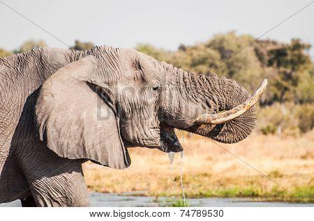Elephant Drinking Water