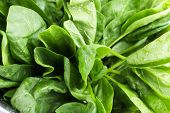 picture of sorrel  - Tuft of fresh sorrel closeup - JPG