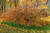 stock photo of aronia  - bush of aronia in the autumn park - JPG