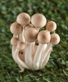 pic of spores  - Brown beech mushrooms Shimeji mushroom on grass Edible mushroom - JPG