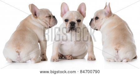 cute french bulldog puppies sitting isolated on white background