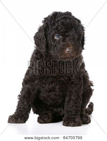 cute puppy - brown barbet puppy sitting on white background - five weeks old