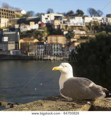 Seagull sits in Ribeira Old Town, Douro river, Porto, Portugal.
