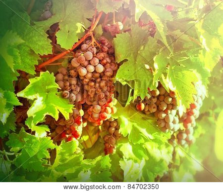 Red grapes ( purple grapes)