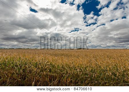 Ripe Golden Field Of Zea Mays Or Corn